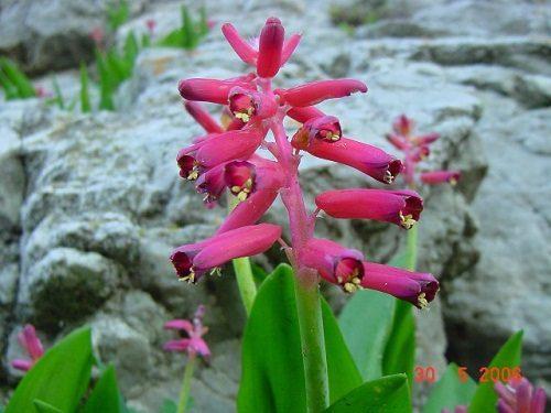 Lachenalia bulbifera (10)