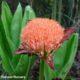 Scadoxus puniceus SEEDLING